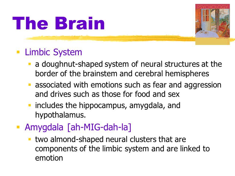 The Brain Limbic System Amygdala [ah-MIG-dah-la]